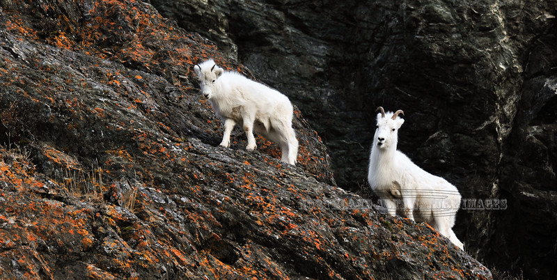 SD-2013.12.7#006-Alaska Dall Sheep, ewe and a yearling lamb. Chugach Mountains, Alaska.