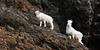 SD-2013.12.7#006-Alaska Dall Sheep, ewe and a yearling lamb. Chugach Mountains, Alaska.