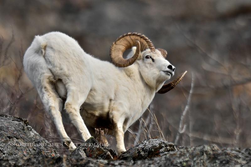 SD-2014.11.13#138-A mature full curl Alaska Dall sheep.