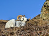 SD-2010.9.23#022-A Dall ram resting on a high ridge after the colors have passed. Alaska Range, Alaska.