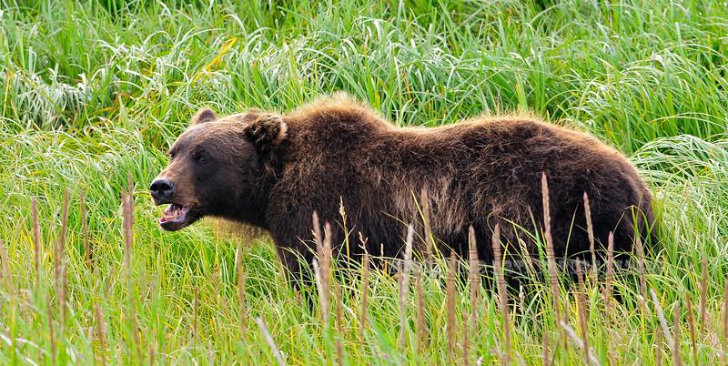 An Alaska Brown bear grazing on sedge. McNeil river Alaska. #811.007. 1x2 ratio format.