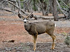 DM-2018.1.16#199. Mule Deer. Kaibab Forest Arizona.