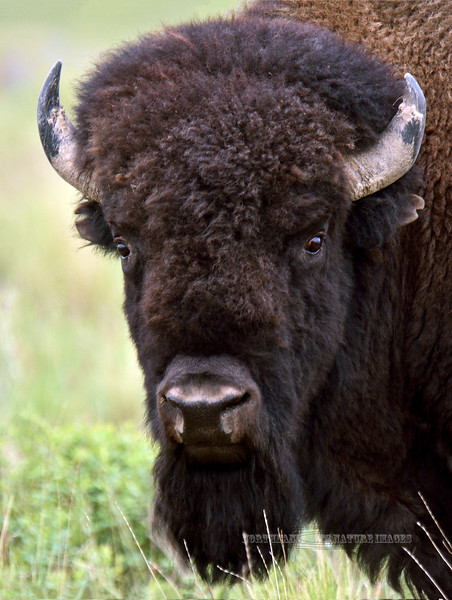 BP-2015.5.16#693-An old bull with worn down horns gives me a look. Nat.Bison Range, near Charlo Montana.