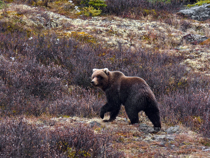 Alaska interior Grizzly bear. Alaska Range, Alaska. #923.572. 3x4 ratio format.