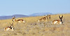Antelope, pronghorn. Yavapai County, Arizona. #121.009.