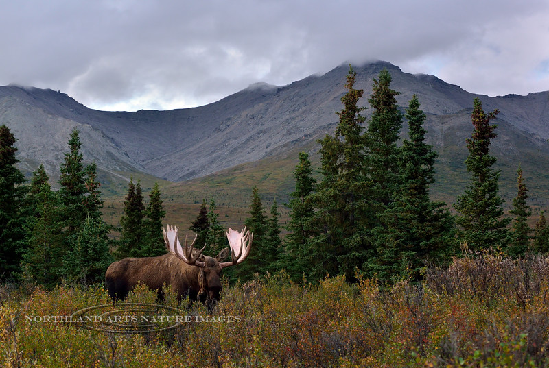 M-2016.8.23#259.3. Bull Moose Denali Park Alaska.