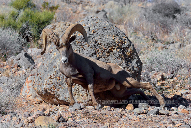 SBHD-2019.1.18#1573.502. A Desert Bighorn. Really working a rock. Photo by my buddy Rick Ullery.