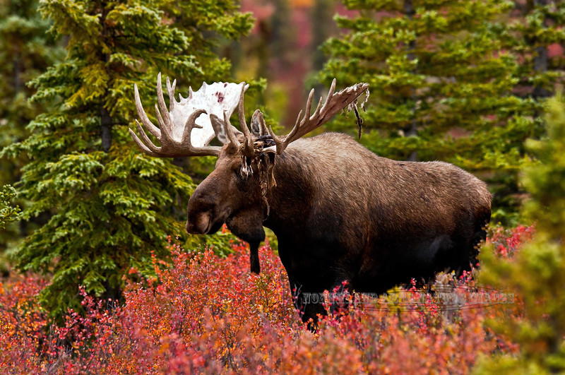 M-2011.8.31#124. An old bull moose showing off his large antlers with lots of character. Near mile eight, Denali Park Alaska.