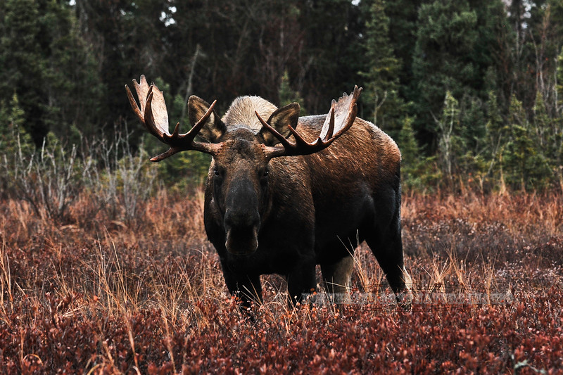 M-2010.10.25#308. Alaska Moose. Conner's Bog,Anchorage,Alaska.