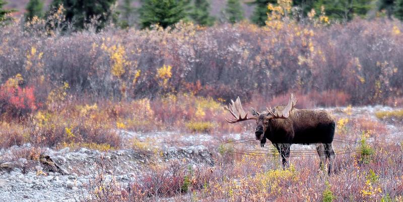 A grand old Alaska bull from long ago. Alaska Range, Alaska. #921.014. 1x2 ratio format.