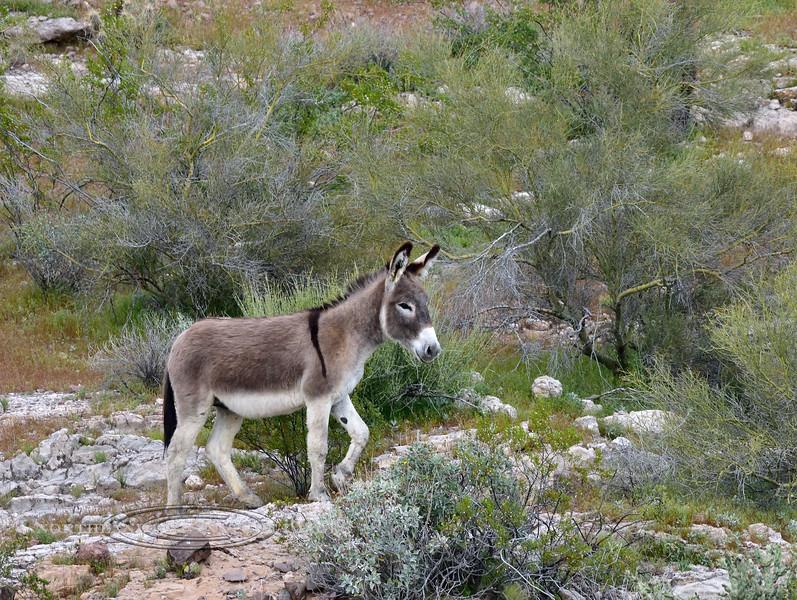 WB-2019.3.6#279. A Wild Burro. Near Lake Pleasant Arizona.