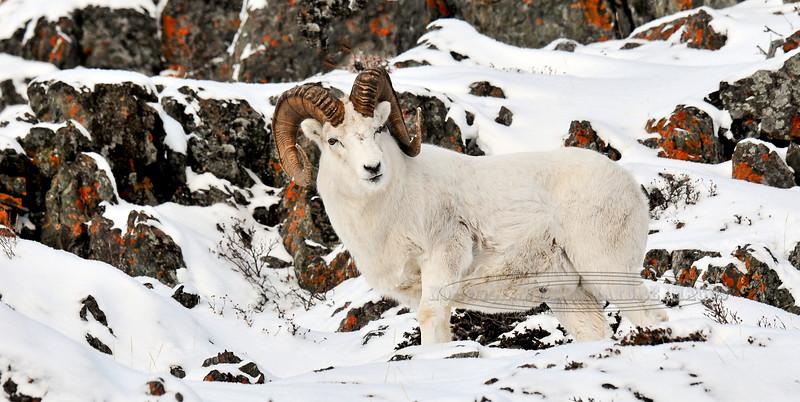 SD-2011.11.23#221-Dall Sheep. Chugach Mtn's., Alaska.