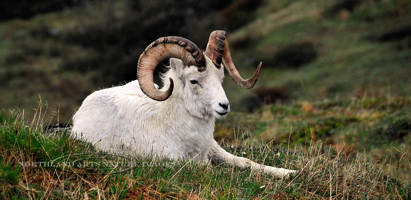 127-2008.6.15#082. A Dall ram on a dark stormy day. Note how the color has washed from his horns after the extended periods of rain previous to this. Primrose Ridge, Denali Park Alaska.