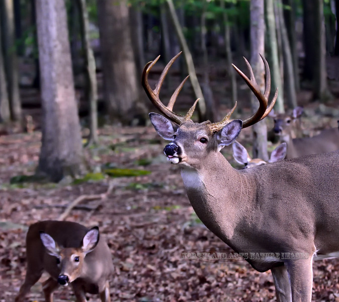 DW-2020.9.25#5091.2. A really good whitetail buck tending some does. Penn's Woods, Pennsylvania.