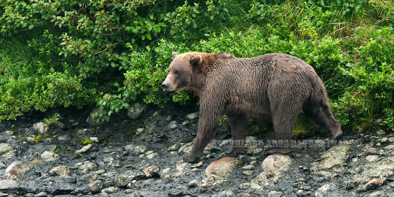 A small Brown bear scans McNeil river for Salmon. #813.043. 1x2 ratio format.