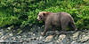 BBR-2010.8.13#043. A Brown bear scans McNeil river for Salmon. Alaska.