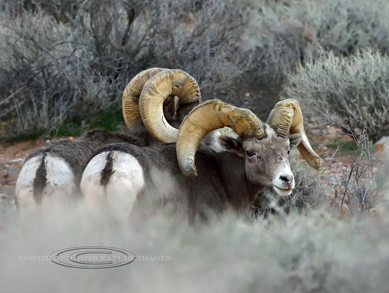 SBHD-2018.12.12#379. Desert Bighorn rams. I found these sheep long after the sun had set. Had to shoot extreme ISO. Couldn't relocate them the next day but posted these poor images to show the sinusitis.