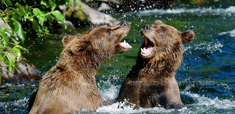 """Brown Bears. Two juvenile litter-mates """"horsing"""" around. Russian River,Kenia Peninsula,Alaska. #731.0374. 1x2 ratio format. A 2x3 ratio image is available on page 2 of this gallery."""