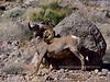 SBHD-2019.1.18#1574. A Desert Bighorn ram. Really rubbing a rock.