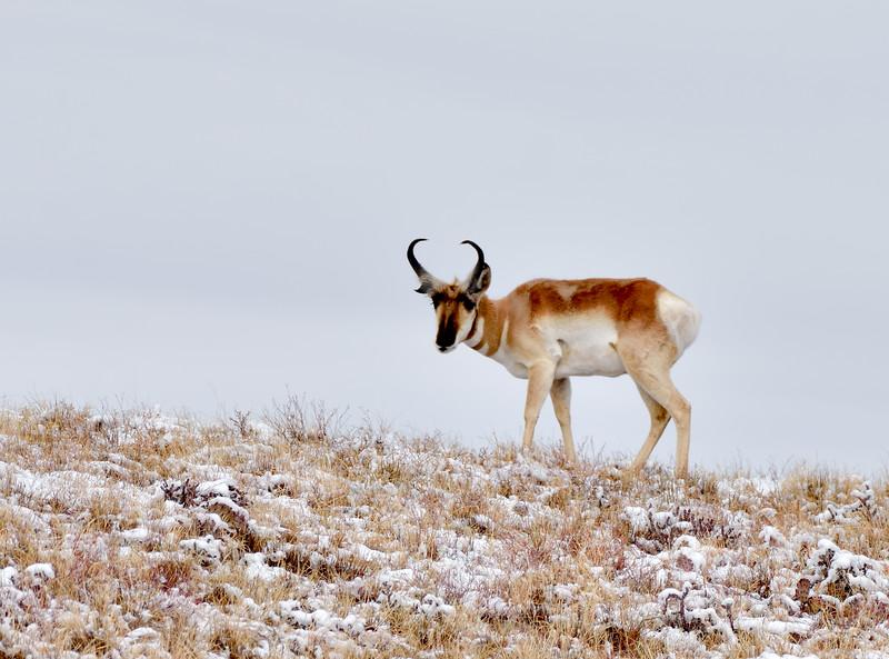 AP-2020.2.11#8984.3. A Pronghorn buck up and feeding after a snow fall. Yavapai County Arizona.