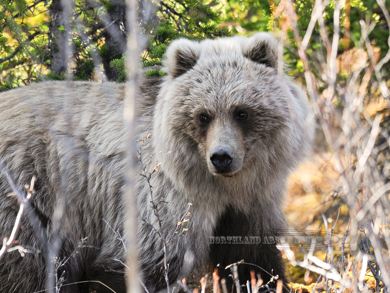 BG-2009.5.15#092. This platinum blond Grizzly and I surprised each other in a thick woods. Near mile thirteen, Denali Park Alaska.