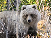 This platinum blond Grizzly and I surprised each other in a thick woods. Alaska Range, Alaska. #515.092. 2x3 ratio format.