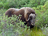 MO-2007.8.5#209. A muskox bull browsing in Willows. Foothills, North Slope of the Brooks Range Alaska.