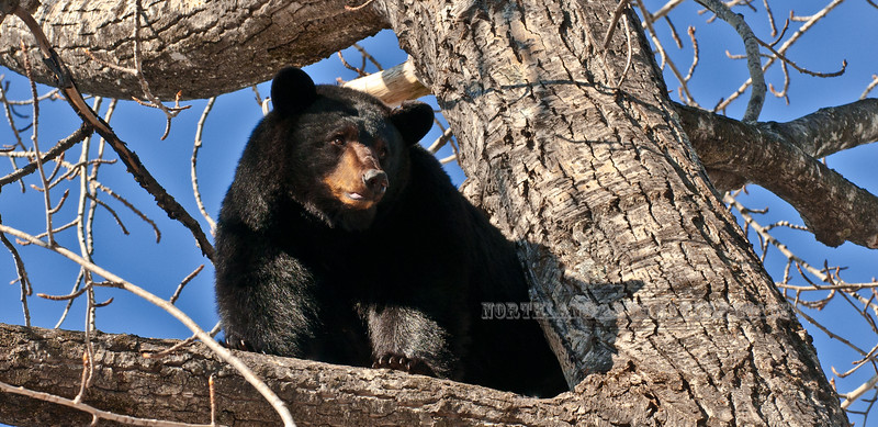 """A Black bear sow takes a break from her cubs to stretch and catch some """"rays"""" in their den tree. near Campbell Creek, Anchorage, Alaska. #412.027. 1x2 ratio format."""