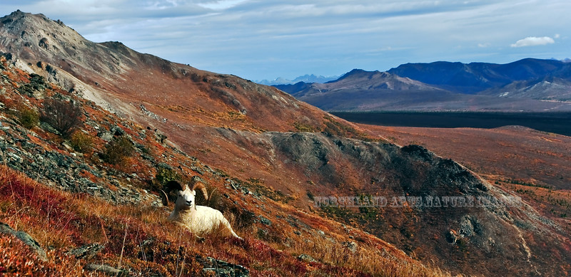 SD-2009.9.16#069-A handsome Dall ram in the outer Range with a backdrop of the main Alaska Range to the south east. Denali Park Alaska.