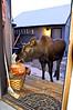 M-2006.11.18#058. Alaska Moose. My old front porch, Anchorage,Alaska.