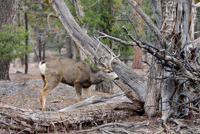 DM-2018.1.16#233. Mule Deer. Kaibab Forest Arizona.