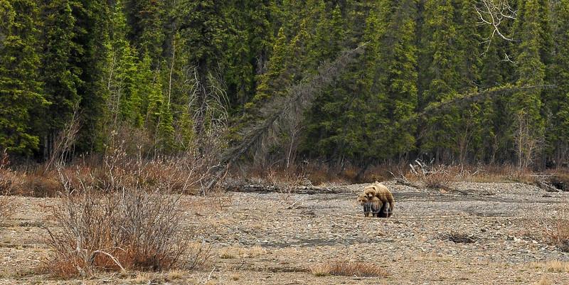 "BG-2012.5.27#125. This must  be what the term ""bear hug"" refers to. Teklanika river, Denali Park Alaska."