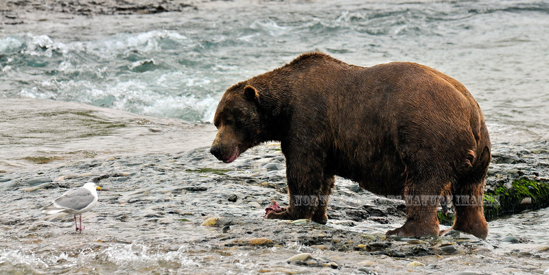 One of the largest know bears living on the Alaska peninsula. Almost comically having a stare down with a gull wanting some of his salmon. #813.147. 1x2 ratio format.