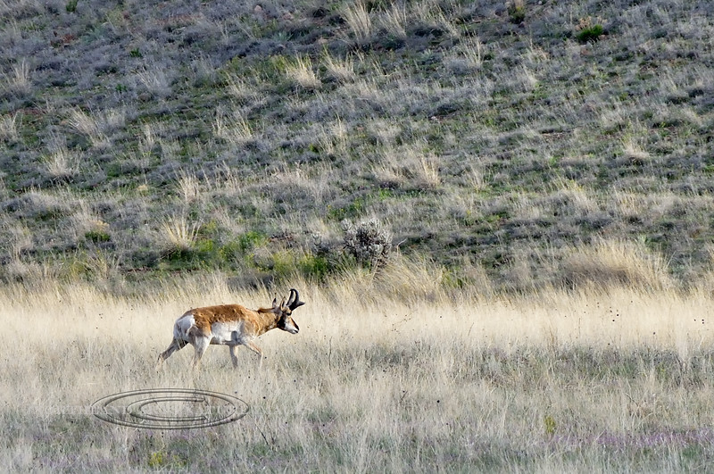 AP-2020.4.11.2. A really good Pronghorn buck is traveling early in the mourning. A buck I first observed in may of 2017 but haven't seen it for over a year. He has lots of warty bumps all around his base. Yavapai County Arizona.