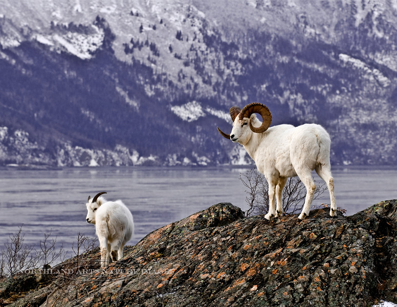 SD-2009.12.4#006-A large Dall Sheep ram still tends a ewe as the rutting period is winding down. Turnagain Arm, Alaska.
