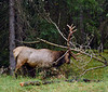 E-2017.9.9#481.4. Rocky Mountain Elk. A really crazy bull Guy J. and I got to follow for a couple hours tearing into just about everything he  encountered along the way. Near the Athabaska River, Alberta Canada.