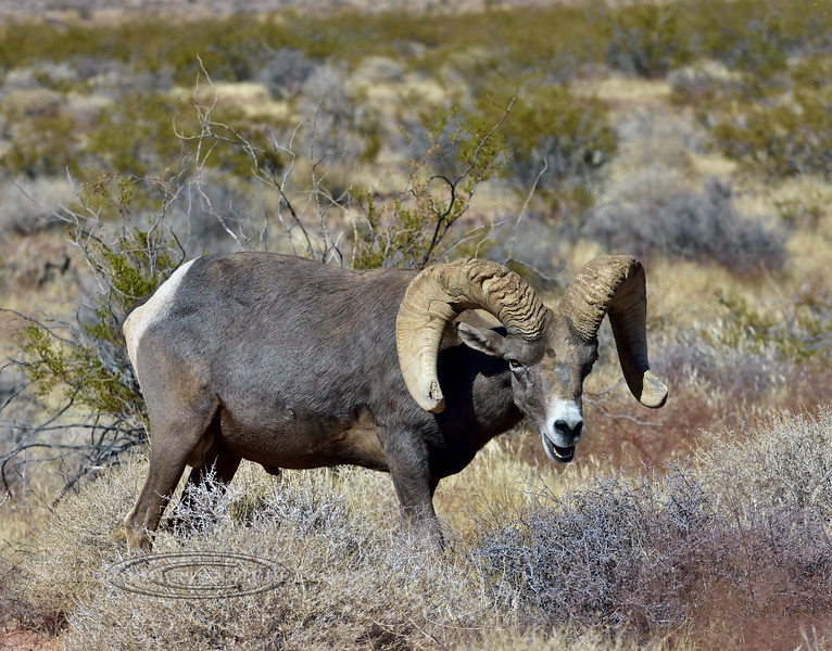 SBHD-2019.10.13#1209.2. A real good mature Desert Bighorn ram grazing and browsing in Creosote scrub.