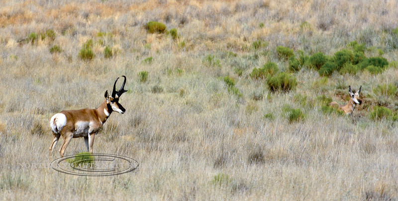 AP-2017.7.9#494. A Pronghorn buck with really good horns following a doe. Yavapai County Arizona.