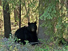 BB-Bear, Black. Making a day bed to lay up during mid day heat. Rocky Mountains. #523.2507.