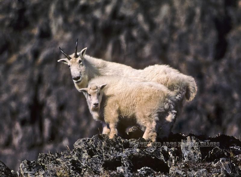 67-1986.10#57.A Mountain Goat nanny & kid. Scanned from old film stock. Tern Lake, Kenai Peninsula, Alaska.