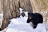 BB-2013.4.19#516. A large sow Black Bear comes down from her den to eat some snow.