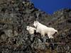 GM-1986.10#7b2. A Mountain Goat nanny with a kid high above Tern Lake on the Kenai Peninsula Alaska.