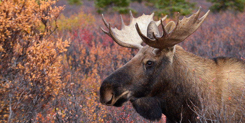 M-2013.9.17#102 A young Alaska bull moose. Near mile eight, Denali Park Alaska.
