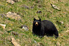 BB-2015.5.22#519. A Black Bear grazing Dandelions on a hillside near Cadomin, Alberta Canada.