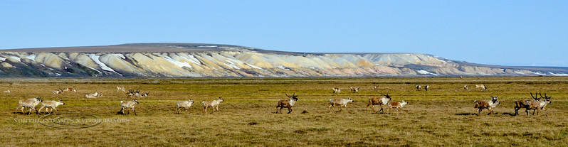 C-2009.6.11#074.Caribou, Barren Ground. Franklin Bluffs, Coastal Plain of the North Slope Alaska.