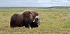 MO-2007.8.13#478. A big lone Muskox bull is traveling on the Coastal Plain of the North Slope of Alaska.