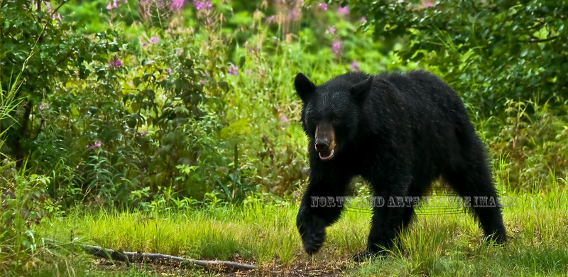 A Black bear grazing on sedge and grass. Alaska Range,Alaska. #728.190. 1x2 ratio format.