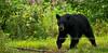 125-2009.7.28#190. A Black bear grazing on sedge and grass. Alaska Range, Alaska.