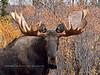 M-2015.9.15#051. Alaska Moose. Nine mile, Denali Park Alaska.
