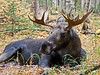 A young bull moose resting. Anchorage Alaska. #922.0043. x3 ratio format.